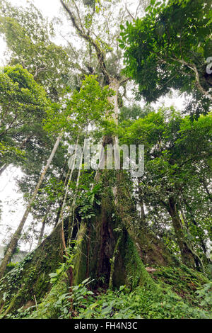 Giant rainforest tree with buttressed roots in Pastaza province, Ecuador, looking upwards to the canopy. - Stock Photo