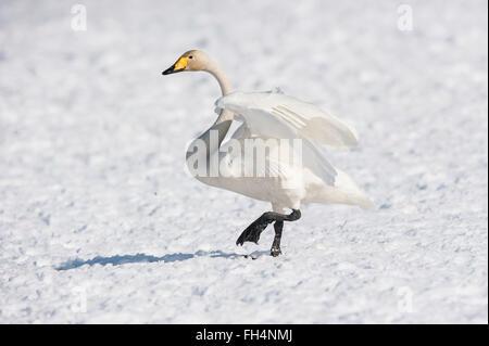 Whooper swan, Cygnus cygnus, Hokkaido, Japan - Stock Photo