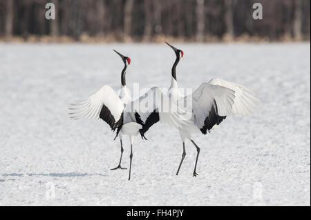 Red-crowed crane, Japanese crane, Grus japonensis, breeding display, Hokkaido, Japan - Stock Photo