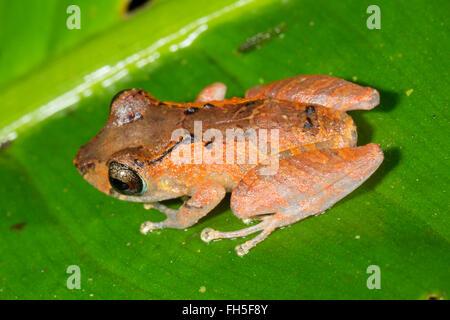 Kichwa Rain Frog (Pristimatis kichwarum) in the rainforest, Pastaza province, Ecuador - Stock Photo