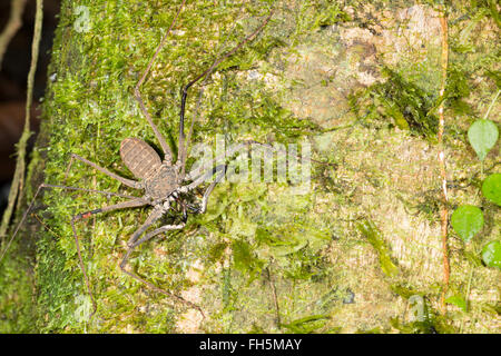 Tailless whipscorpion (Amblypygid)  on a rainforest tree trunk in Pastaza province, Ecuador - Stock Photo