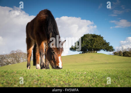 New Forest Ponies grazing at Bolton's Bench near Lyndhurst in the New Forest National Park - Stock Photo