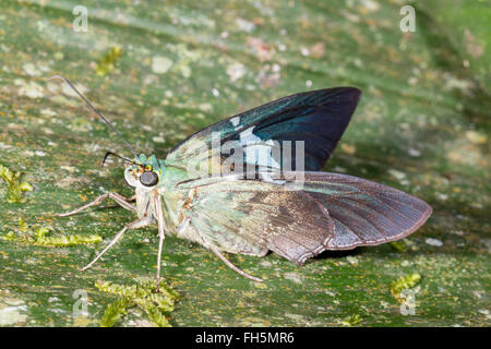Skipper butterfly (Family Hesperidae) on a leaf in the rainforest, Pastaza province, Ecuador - Stock Photo