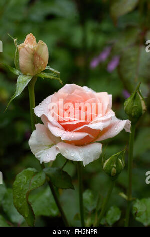 Rose, Johann Strauss, pink hybrid tea, - Stock Photo