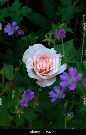 Rose Johann Strauss - Stock Photo