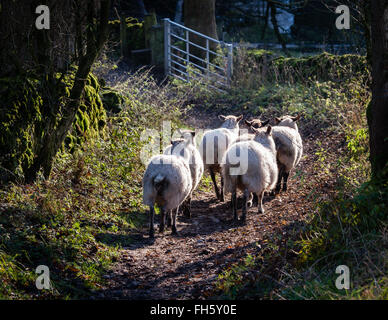 Small flock of sheep walking down a green lane towards a gate in the Derbyshire Peak District UK - Stock Photo