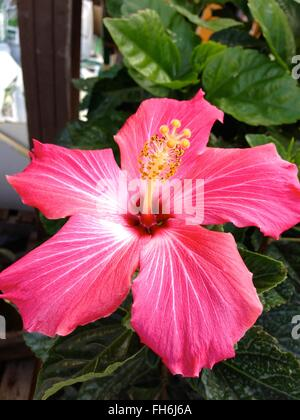 Pink and White Hibiscus Flower in Full Bloom, Hawaii, USA - Stock Photo