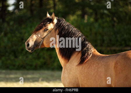 Gypsy Vanner Horse stallion portrait in evening stud farm - Stock Photo