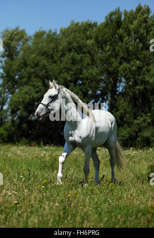 White horse orlov trotter run gallop in summer - Stock Photo