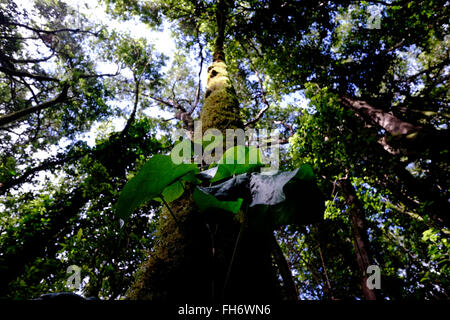 View of the sub-tropical laurel greenery of El Cedro forest in the National Park of Garajonay a Unesco Heritage - Stock Photo