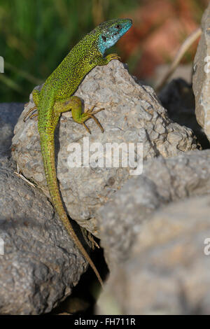 European green lizard (Lacerta viridis), male in mating dress, breeding plumage, sunning on rocks, Balaton Uplands - Stock Photo