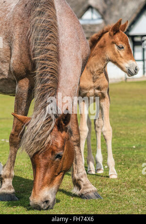 Half Wild New Forest Pony Mare with her foal at the New Forest Wildlife Park near Lyndale, South East England. - Stock Photo