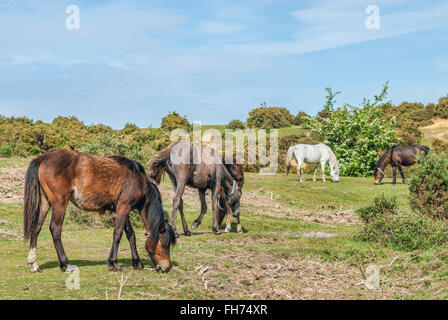 Half Wild New Forest Ponies at the New Forest Wildlife Park near Lyndale, South East England. - Stock Photo