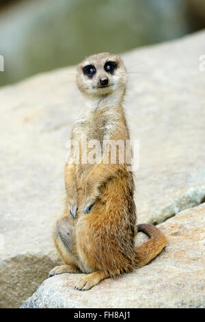 Meerkat (suricata suricatta) in Edinburgh Zoo, Scotland, UK - Stock Photo