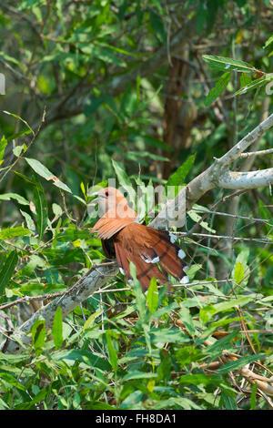 Guira Cuckoo (Guira guira), Pantanal, Mato Grosso, Brazil - Stock Photo