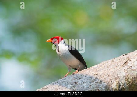 Male Yellow billed Cardinal (Paroaria capitata), Pantanal, Mato Grosso, Brazil - Stock Photo