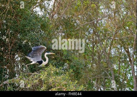 White-Necked Heron or Cocoi Heron (Ardea cocoi), Pantanal, Mato Grosso, Brazil - Stock Photo