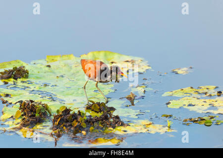 Wattled Jacana (Jacana jacana) walking on a Victoria water lily leave, Pantanal, Mato Grosso, Brazil - Stock Photo
