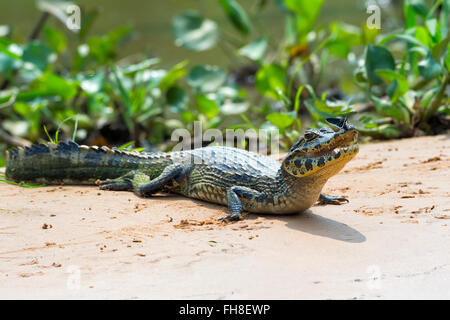 Young Yacare caiman (Caiman yacare) with a butterfly on its nose, Cuiaba river, Pantanal, Brazil - Stock Photo