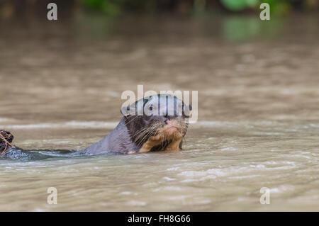 Giant River Otter (Pteronura brasiliensis), Pantanal, Mato Grosso, Brazil - Stock Photo