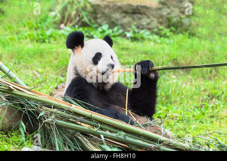 Giant Panda (Ailuropoda melanoleuca) eating bamboo, China Conservation and Research Centre for the Giant Pandas, - Stock Photo