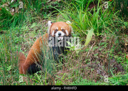 Red Panda (Ailurus fulgens), Sichuan Province, China - Stock Photo