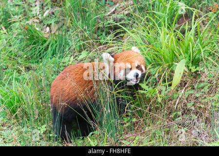 Red Panda (Ailurus fulgens), Sichuan Province, China - Stock Photo