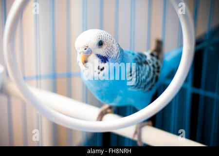 Portrait of a blue, male baby budgie, In a cage. Shallow depth of field - Stock Photo