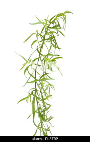 Fresh Tarragon twig and leaves on white background - Stock Photo