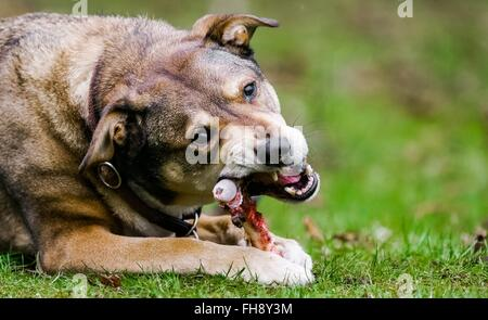 A dog eats a bone , photo: 2016, Februrary 15. - Stock Photo