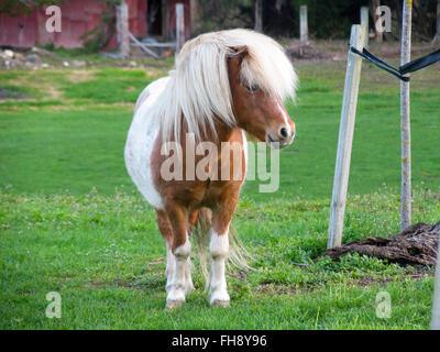 A Shetland pony in a farmyard. - Stock Photo
