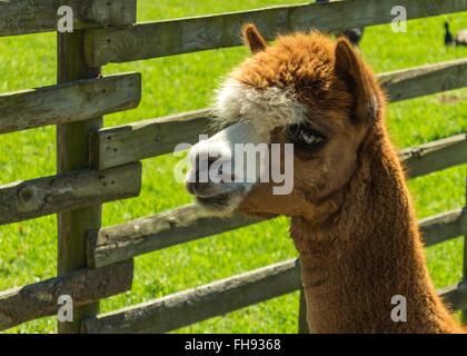 Llama alpaca - Stock Photo
