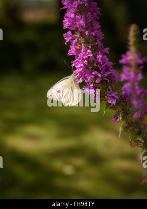 Small White 'Cabbage White' butterfly Pieris rapae, on Purple Loosestrife - Stock Photo