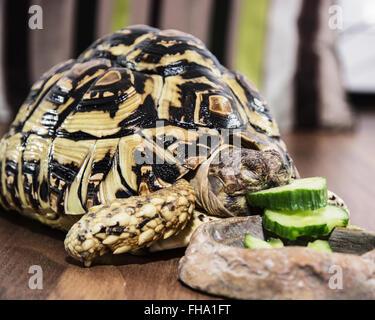 Leopard tortoise - Geochelone pardalis - eating cucumber. Animal scene. Endangered species. - Stock Photo