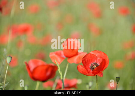 One sharp vibrant red poppy flower (papaver rhoeas) in a field filled with out-of-focus poppies as a symbol for - Stock Photo