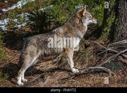Solitary gray wolf / grey wolf / timber wolf (Canis lupus) in forest with melting snow in spring - Stock Photo