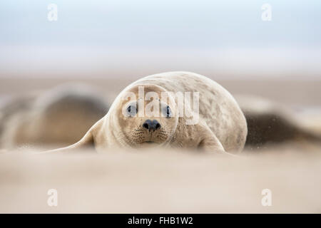 Atlantic Grey Seal Pup (Halichoerus Grypus) - Stock Photo