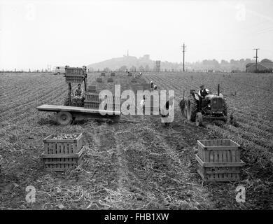 Potato harvesting picking at Lilleshall in Shropshire 1950s - Stock Photo