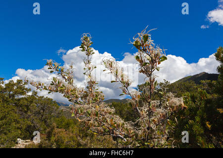 MOUNTAIN MAHOGONY (Cercocarpus montanus) seeds  in the Rocky Mountains - COLORADO - Stock Photo