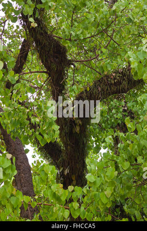 A large BODHI TREE at WAT VISOUN - LUANG PRABANG, LAOS - Stock Photo