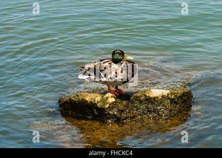 One mottled male mallard duck standing on exposed rock rising from green water. Rock is wet and covered in moss - Stock Photo