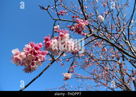 Close-up of cherry blossoms in Taichung, Taiwan - Stock Photo