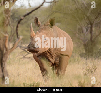 White Rhinoceros in the Northern Cape, South Africa - Stock Photo