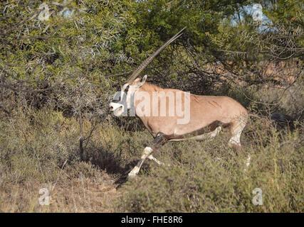 A Gemsbok scratches itself as it runs through camelthorn trees - Stock Photo