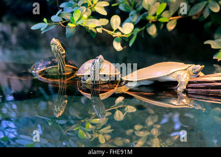 Spiny softshell turtle/, group of adults, North America / (Apalone spinifera) - Stock Photo