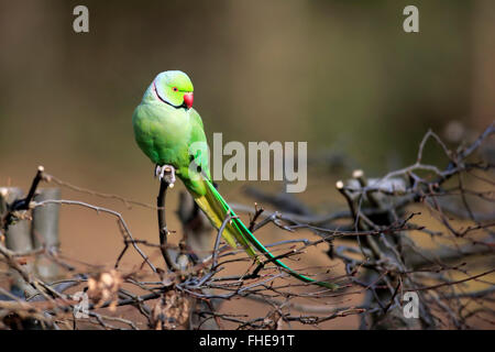 Ring-Necked Parakeet, Mannheim, Germany, Europe / (Psittacula krameri) - Stock Photo