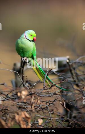 Ring-Necked Parakeet, Mannheim, Germany, Europe / (Psittacula krameri) - Stock Photo