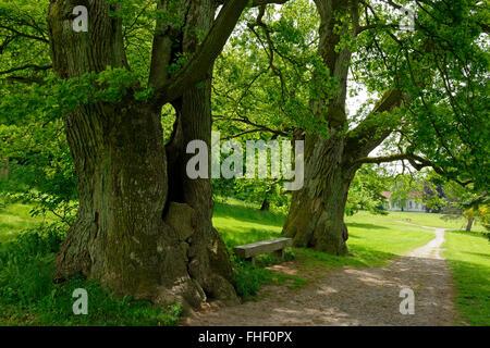 Mighty oaks, old trees in the palace garden, Putbus, Rügen, Mecklenburg-Western Pomerania, Germany - Stock Photo
