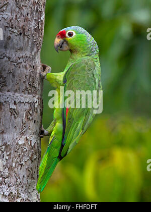 Red-lored parrot on tree - Stock Photo
