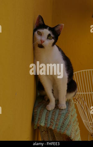 Black and white cat sitting on a ladder against a yellow wall - Stock Photo